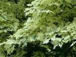 oak_tree_mixed_color_leaves_aquadrome_2_2013